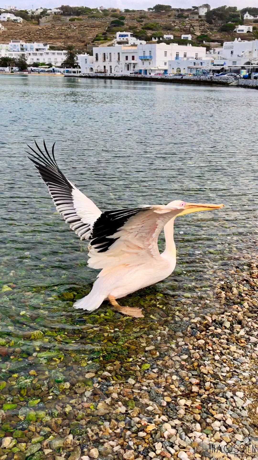 Peter the Pelican - The Superstar!