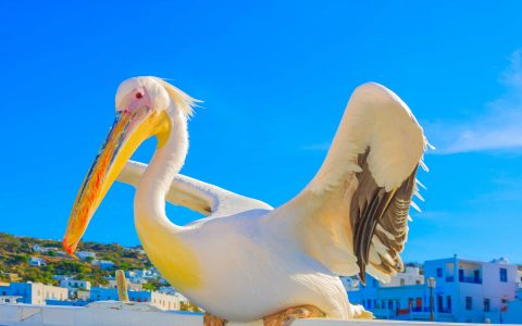 Peter the Pelican! The Superstar! - in Love with the Med